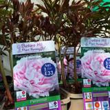 Peony lactiflora 'Sarah Bernhardt' (Peonia) 3ltr pot