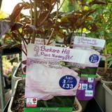 Peony lactiflora 'Shirley Temple' (Peonia) 3ltr pot