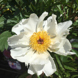 Peony lactiflora 'White Wings' (Peonia) 3ltr pot