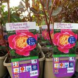 Peony lactiflora Doreen (Peonia) 3ltr pot