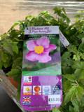 Anemone huphensis japonica 'Splendens' - 6.5ltr pot