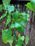 Abutilon 'Hinton Seedling' - 7.5ltr