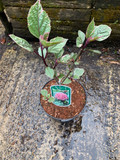 Clerodendrum Pink Diamond - 3L