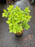 Cotinus coggygria 'Golden Spirit' - 3ltr pot