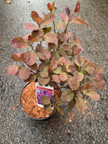 Cotinus 'Royal Purple' - 3ltr pot