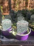 Dichondra 'Silver Falls' - 9cm pot