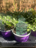 Helichrysum microphylla - 9cm pot