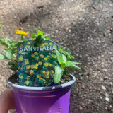 Sanvitalia - 9cm pot