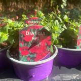 Diascia 'Red' - 9cm pot