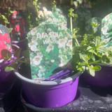 Diascia 'White' - 9cm pot