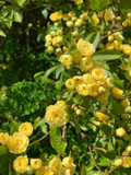 Rosa lutea Banksiae on 3-4ft cane