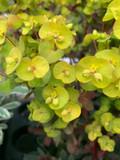 Euphorbia 'Pupurea'