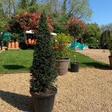 Yew Cone 4ft