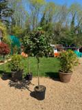Standard Camellia Japonica (5ft)