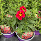 Petunia 'Mini Bells Cartwheel Red' - 9cm pot
