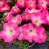 Petunia 'Bright Pink' - 9cm pot