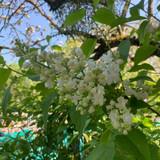 Standard Lilac 'Alice Harding' (Syringa) - 35ltr pot