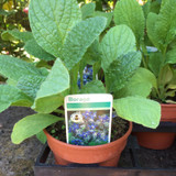 Borage (Borago officinalis) 11cm pot