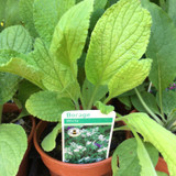 Borage white flowered (Borago officinalis 'Alba') 11cm pot