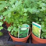 Celery Leaf (11cm)