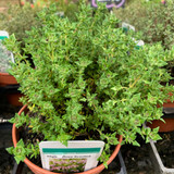 Thyme Rose Scented (11cm)