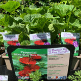 Alcea rose 'Mars Magic' (Hollyhock) 1ltr pot