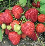 Strawberry 'Malling Opal'