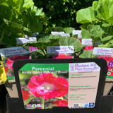 Alcea rose 'Radiant Rose' (Hollyhock) 1ltr pot