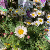 Anacyclus pyrethrum depressus 1ltr pot