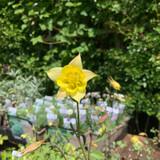Aquilegia chrysantha 'Yellow Queen' 1ltr pot