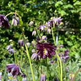 Aquilegia vulgaris stellata 'Christa Barlow' 1ltr pot