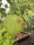 Cercidiphyllum japonicum (Katsura Tree)