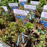 Corydalis flexuosa 'China Blue' 1ltr pot