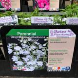Delphinium belladonna 'Cassa Blanca' 1ltr