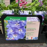 Delphinium Fountain Lavender - 1ltr