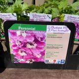 Delphinium Fountain Lilac Pink 1ltr