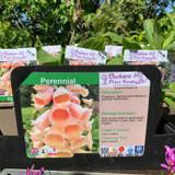 Digitalis purpurea 'Dalmation Peach' (Foxglove) 1ltr