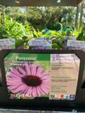 Echinacea pupurea 'Primadonna Deep Pink' 1ltr