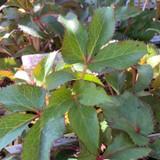 Helleborus x sternii 1ltr pot