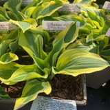 Hosta 'Wide Brim' 1ltr
