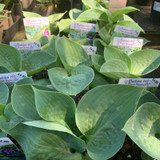 Hosta 'Big Daddy' 1ltr