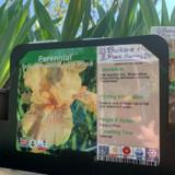Iris germanica 'June Rose' 1ltr