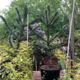 Large Monkey Puzzle Tree (3- 4ft)