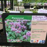 Lamium maculatum 'Pink Pewter' 1ltr pot