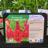 Lupin 'My Castle' (Lupinus) 1ltr pot