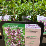 Nepeta grandiflora 'Dawn to Dusk' (Catmint) 1ltr