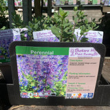 Nepeta grandiflora 'Summer Magic' (Catmint) 1ltr
