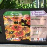 Helenium 'Peach Sundae' 1ltr pot