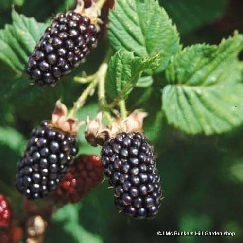 Blackberry 'Adrienne'