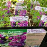 Verbena 'Homestead Purple' 1ltr pot